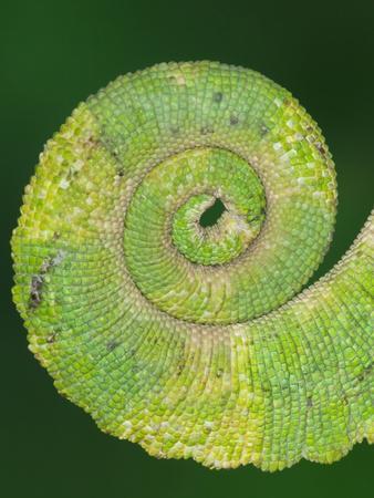 https://imgc.artprintimages.com/img/print/usa-california-close-up-of-tail-of-jackson-s-chameleon_u-l-q1gcqwy0.jpg?p=0