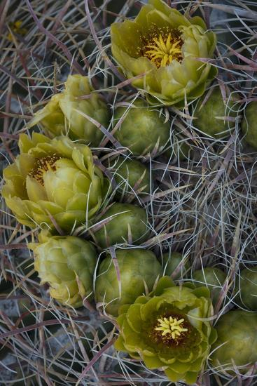 USA, California. Detail of California Barrel Cactus growing in Anza Borrego Desert State Park.-Judith Zimmerman-Photographic Print
