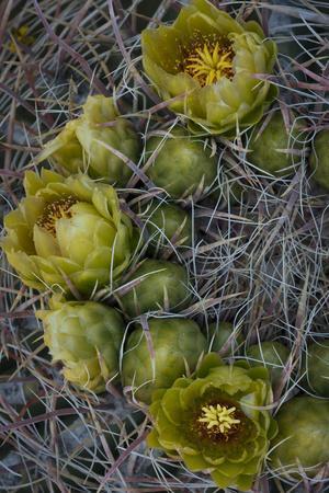 https://imgc.artprintimages.com/img/print/usa-california-detail-of-california-barrel-cactus-growing-in-anza-borrego-desert-state-park_u-l-q1blkcq0.jpg?p=0