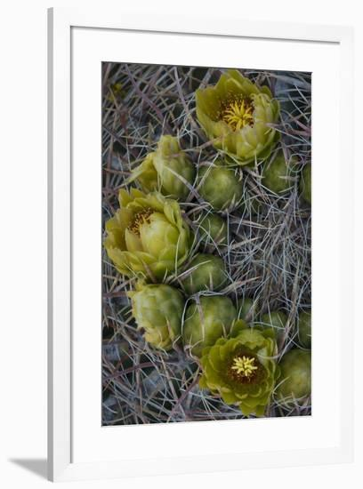 USA, California. Detail of California Barrel Cactus growing in Anza Borrego Desert State Park.-Judith Zimmerman-Framed Photographic Print