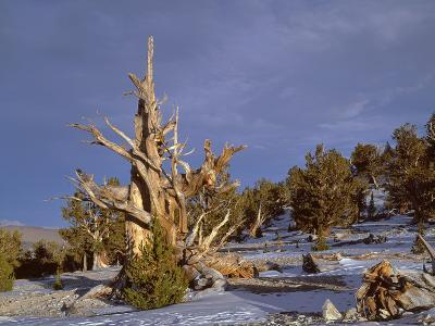 USA, California, Inyo National Forest, Ancient Bristlecone Pine Forest Area-John Barger-Photographic Print