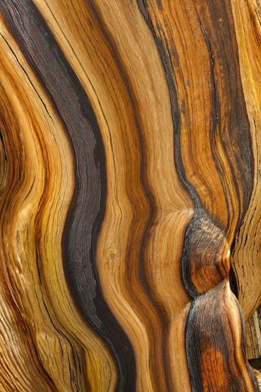 USA, California, Inyo National Forest. Patterns in a bristlecone pine.-Don Paulson-Photographic Print
