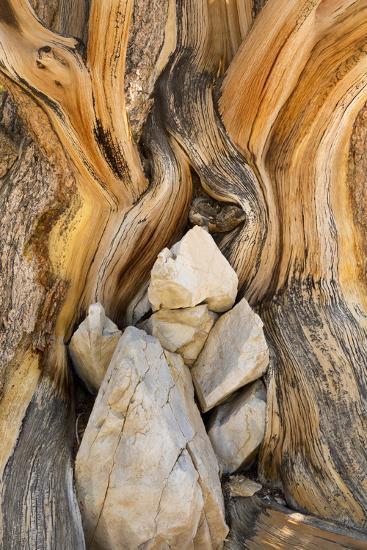 USA, California, Inyo NF. Patterns in bristlecone pine wood.-Don Paulson-Photographic Print