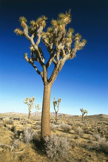 USA, California, Joshua Tree National-Park, Landscape, Trees-Frank Lukasseck-Photographic Print