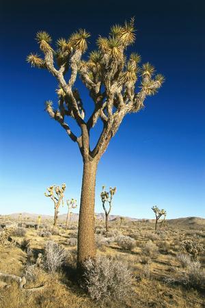 https://imgc.artprintimages.com/img/print/usa-california-joshua-tree-national-park-landscape-trees_u-l-q11vkkq0.jpg?p=0