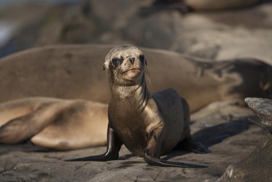 USA, California, La Jolla. Baby sea lion on sand.-Jaynes Gallery-Premium Photographic Print