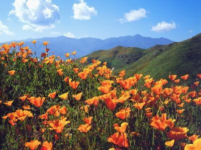 USA, California, Lake Elsinore. California Poppies Cover a Hillside-Jaynes Gallery-Photographic Print