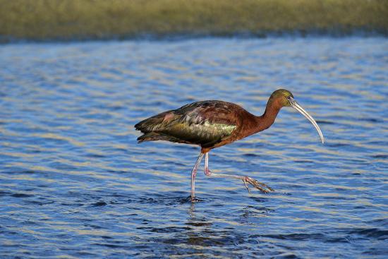 USA, California, Los Angeles. Glossy ibis in breeding plumage.-Jaynes Gallery-Premium Photographic Print