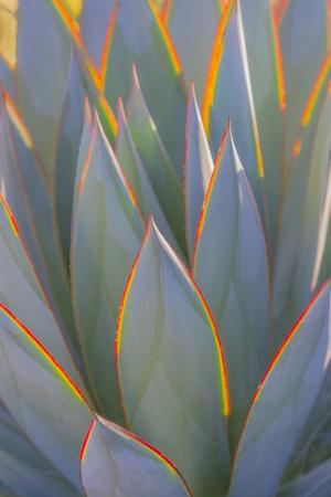 https://imgc.artprintimages.com/img/print/usa-california-morro-bay-backlit-agave-leaves_u-l-q1d0bo10.jpg?p=0