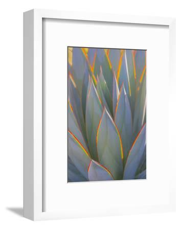 USA, California, Morro Bay. Backlit agave leaves.-Jaynes Gallery-Framed Photographic Print