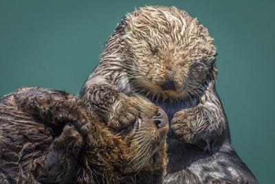 https://imgc.artprintimages.com/img/print/usa-california-morro-bay-state-park-sea-otter-mother-with-pup_u-l-q1d09sl0.jpg?p=0