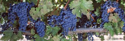 USA, California, Napa Valley, Grapes