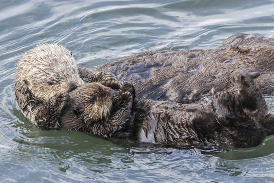 USA, California, San Luis Obispo County  Sea otter mother and pup grooming   Premium Photographic Print by Jaynes Gallery | Art com