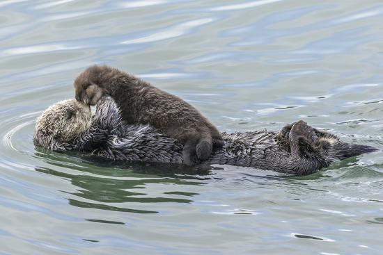 USA, California, San Luis Obispo County  Sea otter mother and pup  Premium  Photographic Print by Jaynes Gallery | Art com