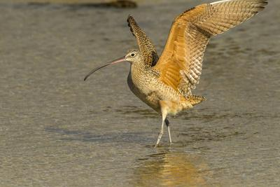https://imgc.artprintimages.com/img/print/usa-california-san-luis-obispo-long-billed-curlew-in-water_u-l-q1gcbja0.jpg?p=0