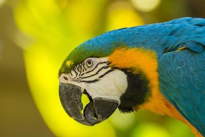 USA, California, Santa Barbara. Profile of Macaw at Santa Barbara Zoo-Jaynes Gallery-Photographic Print