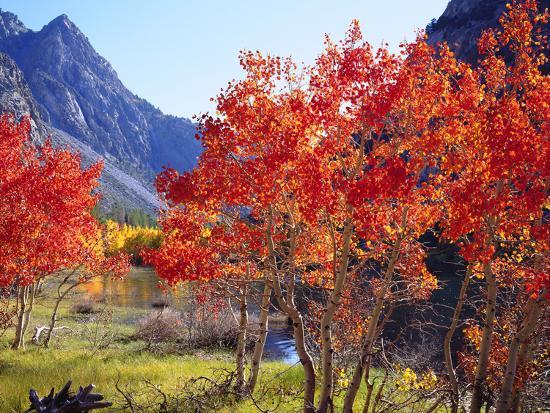 USA, California, Sierra Nevada. Autumn Red Aspen Trees-Jaynes Gallery-Photographic Print
