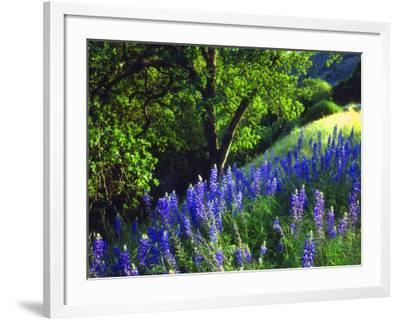 USA, California, Sierra Nevada. Lupine Wildflowers in the Forest-Jaynes Gallery-Framed Photographic Print