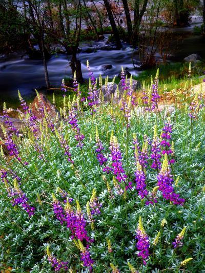 USA, California, Sierra Nevada. Lupines in the High Sierra-Jaynes Gallery-Photographic Print