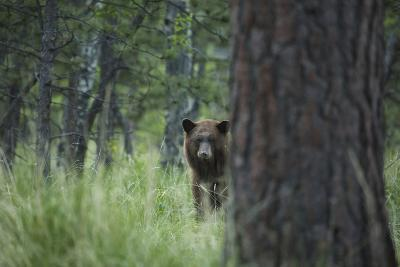 USA, Colorado. A Cinnamon Phase Black Bear in Forest-Jaynes Gallery-Photographic Print