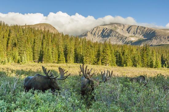 USA, Colorado, Arapaho NF. Three Male Moose Grazing on Bushes-Cathy & Gordon Illg-Photographic Print