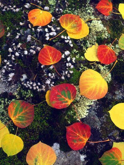 USA, Colorado, Aspen Leaves in the Rocky Mountains-Jaynes Gallery-Photographic Print