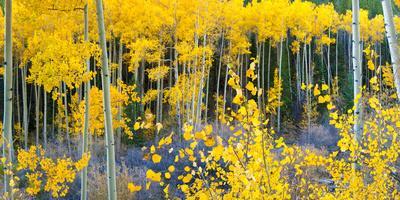 https://imgc.artprintimages.com/img/print/usa-colorado-bright-yellow-aspens-in-rockies-cottonwood-pass_u-l-pobv1s0.jpg?p=0