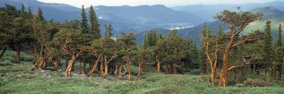 Usa, Colorado, Bristlecone Pine Tree on the Landscape-Jeff Foott-Photographic Print