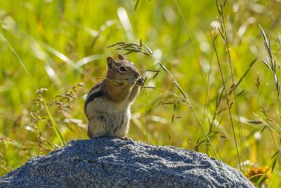 USA, Colorado, Gunnison National Forest. Golden-Mantled Ground Squirrel Eating Grass Seeds-Jaynes Gallery-Photographic Print