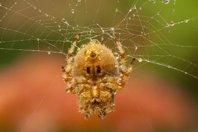 USA, Colorado, Jefferson County. Orb-Weaver Spider on Web-Cathy & Gordon Illg-Photographic Print