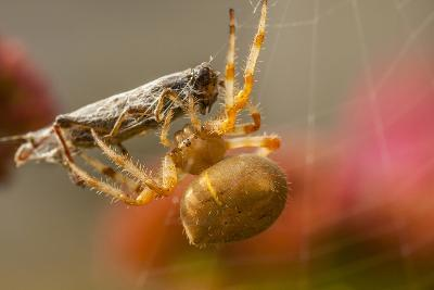 USA, Colorado, Jefferson County. Orb-Weaver Spider with Prey-Cathy & Gordon Illg-Photographic Print