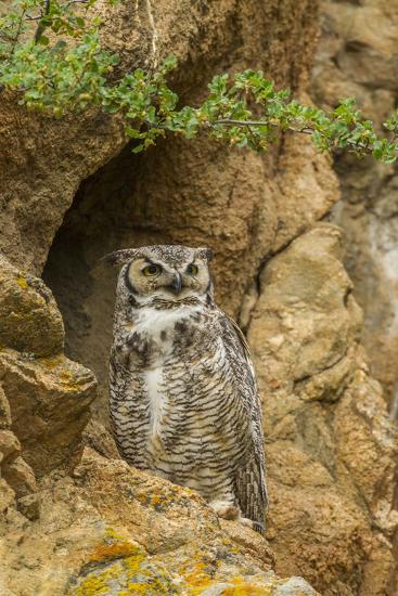 USA, Colorado, Larimer County. Great Horned Owl on Rocky Ledge-Cathy & Gordon Illg-Photographic Print