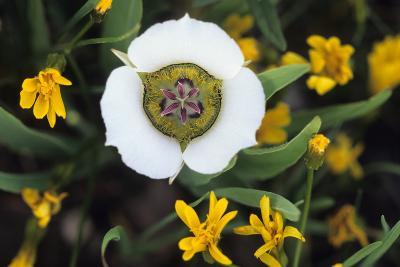 USA, Colorado. Mariposa Tulip and Mountain Wildflowers-Jaynes Gallery-Photographic Print