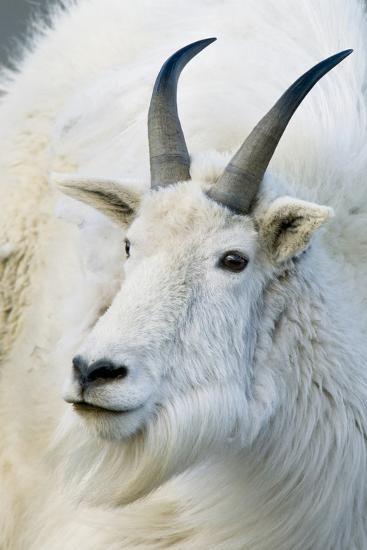 USA, Colorado, Mount Evans Recreation Area. Mountain Goat Portrait-Jaynes Gallery-Photographic Print