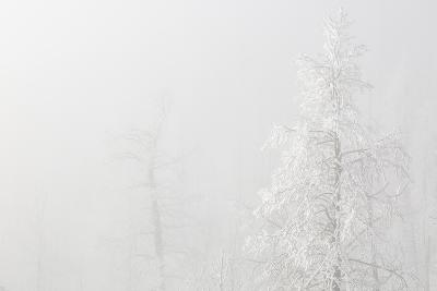 USA, Colorado, Pike National Forest. Trees with Hoarfrost in Fog-Jaynes Gallery-Photographic Print