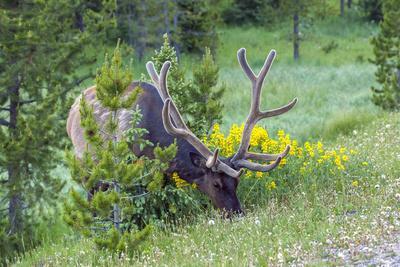 USA, Colorado, Rocky Mountain National Park. Bull Elk Grazing-Cathy & Gordon Illg-Photographic Print