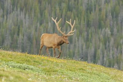 USA, Colorado, Rocky Mountain National Park. Bull Elk in Velvet Walking-Jaynes Gallery-Photographic Print