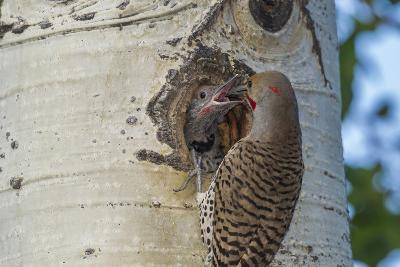 USA, Colorado, Rocky Mountain NP. Red-Shafted Flicker Feeds Nestling-Cathy & Gordon Illg-Photographic Print