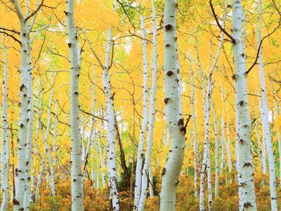 https://imgc.artprintimages.com/img/print/usa-colorado-rocky-mountains-fall-colors-of-aspen-trees_u-l-pqem130.jpg?p=0