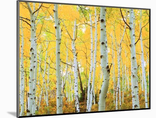USA, Colorado, Rocky Mountains, Fall Colors of Aspen Trees-Jaynes Gallery-Mounted Photographic Print