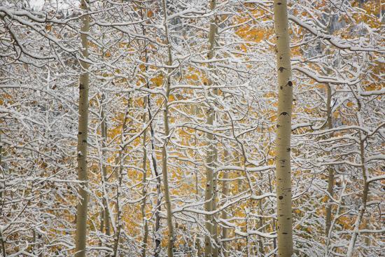 USA, Colorado, San Juan Mountains. Snow on Aspen Trees-Don Grall-Photographic Print