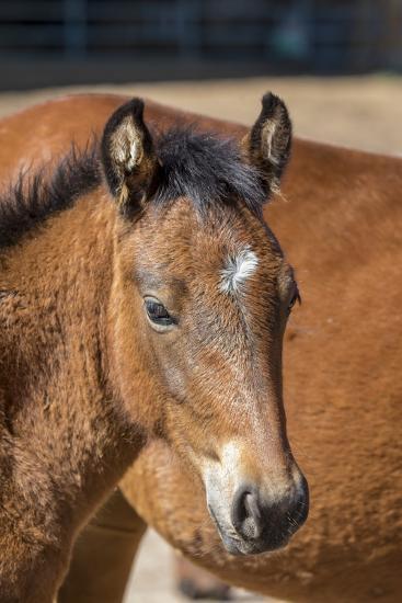 USA, Colorado, San Luis. Wild horse foal close-up.-Jaynes Gallery-Photographic Print