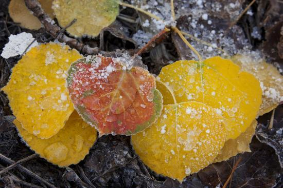 USA, Colorado, Uncompahgre NF. Frozen Water on Aspen Leaves-Don Grall-Photographic Print