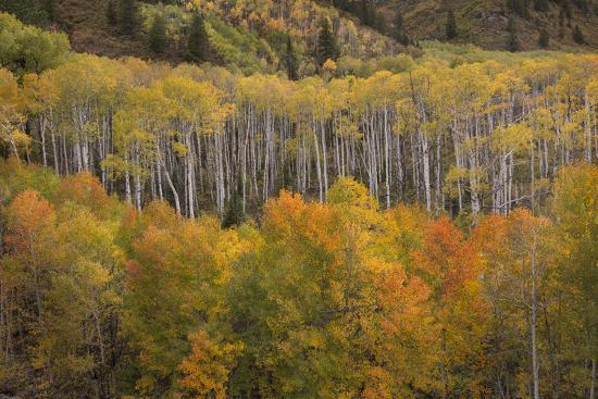 USA, Colorado, White River NF. Aspen Grove at Peak Autumn Color-Don Grall-Photographic Print