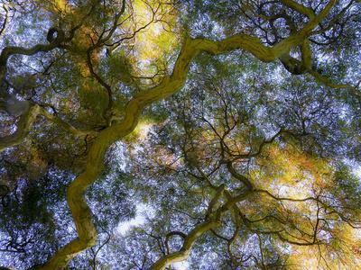 https://imgc.artprintimages.com/img/print/usa-delaware-looking-up-at-the-sky-through-a-japanese-maple_u-l-q1gtdry0.jpg?p=0