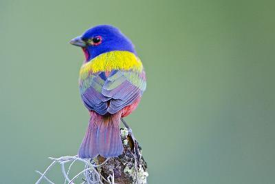 USA, Florida, Immokalee, Male Painted Bunting Perched on Branch-Bernard Friel-Photographic Print