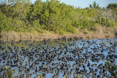 USA, Florida, Merritt Island, National Wildlife Refuge, American Coot.-Lisa S^ Engelbrecht-Photographic Print