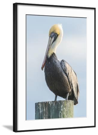 USA, Florida, New Smyrna Beach, Pelican Perched on Pylon-Jim Engelbrecht-Framed Photographic Print