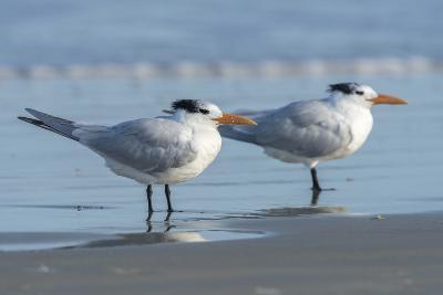 USA, Florida, New Smyrna Beach, Royal Tern-Jim Engelbrecht-Photographic Print