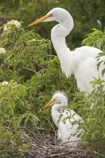 USA, Florida, Orlando. Great Egret and baby egret at Gatorland.-Lisa S^ Engelbrecht-Photographic Print